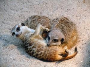 meerkat marketing lessons